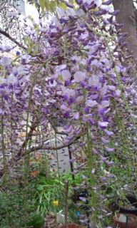 0428-9藤の花