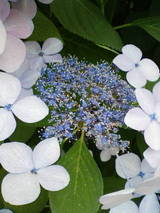 6-16紫陽花7