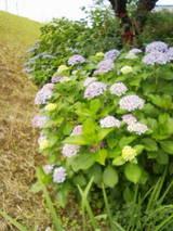 6-16紫陽花4