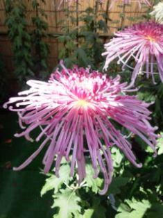 1029-6薄紅色の菊