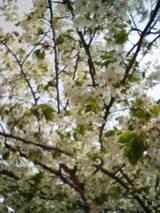 4-21桜1