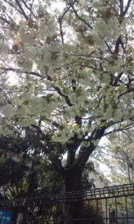 1黄桜 F1002534