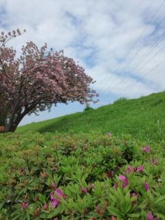 0428-8土手の桜
