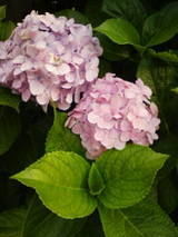 6-16紫陽花1