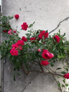 0511-4 五月のバラ