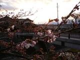 桜(中津川)
