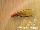 カンザイ羽蟻