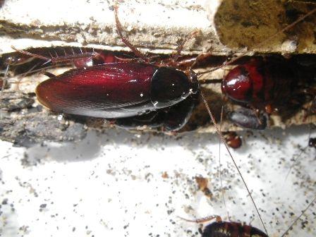 クロゴキブリ成虫01
