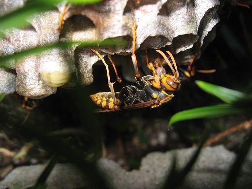 肉団子を運ぶアシナガバチ