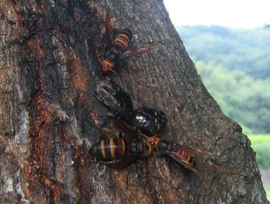 ヒメスズメバチの群れ