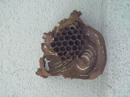 ハチの巣4