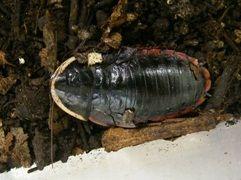 サツマゴキブリ成虫1