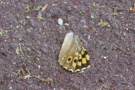 サトキマダラヒカゲの翅