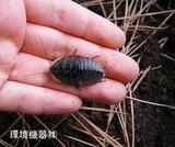 サツマゴキブリ写真2