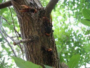 スズメバチ3種