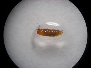 ニセケバエ蛹