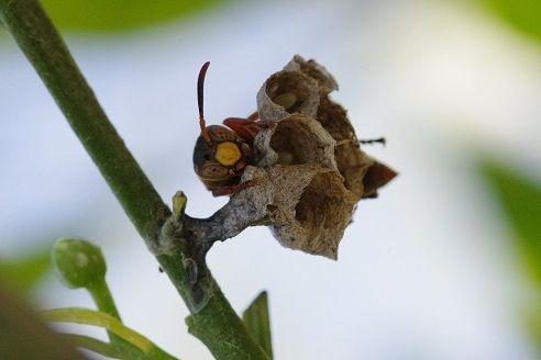 コアシナガバチ3