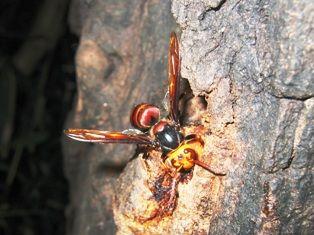ヒメスズメバチ後期型