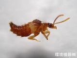 好白蟻性ハネカクシ