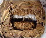 スズメバチの巣3