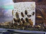 チャバネ幼虫