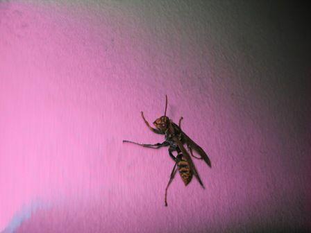 アシナガバチ(アップ)