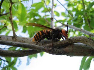オオスズメバチ1