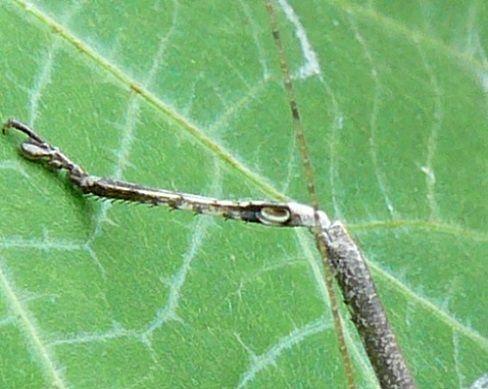クツワムシ(緑カラー)