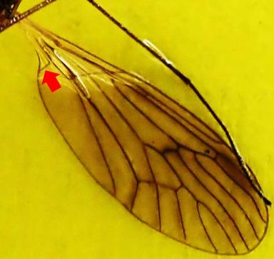 ガガンボダマシ翅