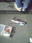 釣れていた魚