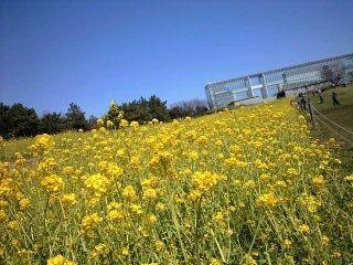 葛西臨海公園菜の花