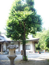 ぼさつ樹2
