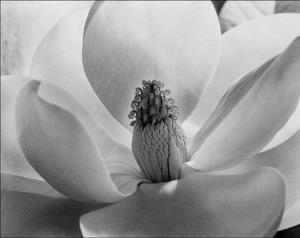 3_imogen_cunningham_magnolia_blossom