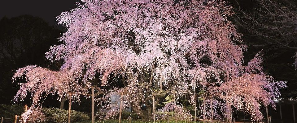 3月27日は植田正治の誕生日、六義園の桜が満開です。