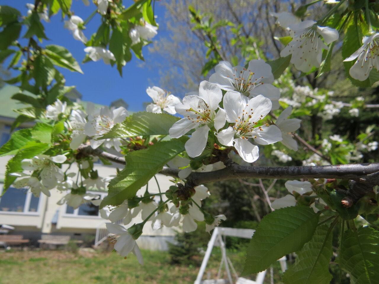 春たけなわ 庭の花 : 八ヶ岳自然アルバム