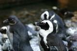 ケープペンギン002