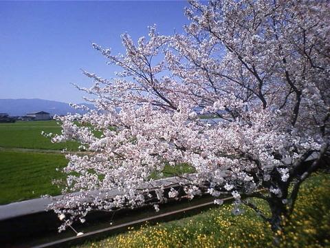 2012年桜