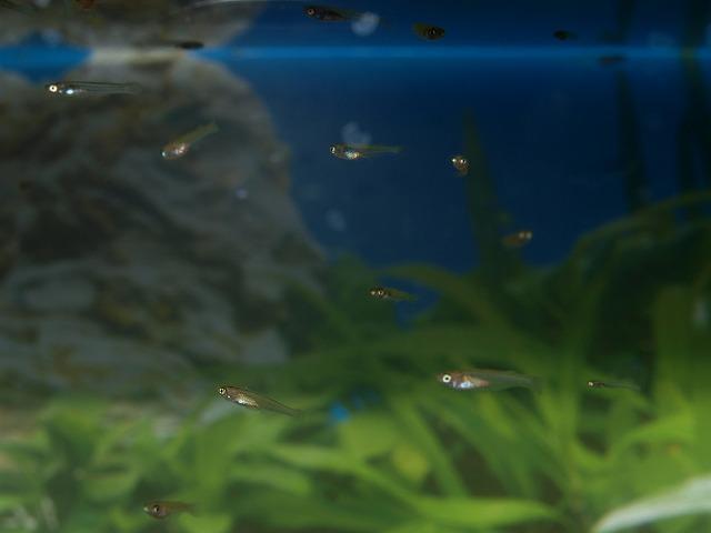 屋内飼育水槽のメダカの稚魚たち
