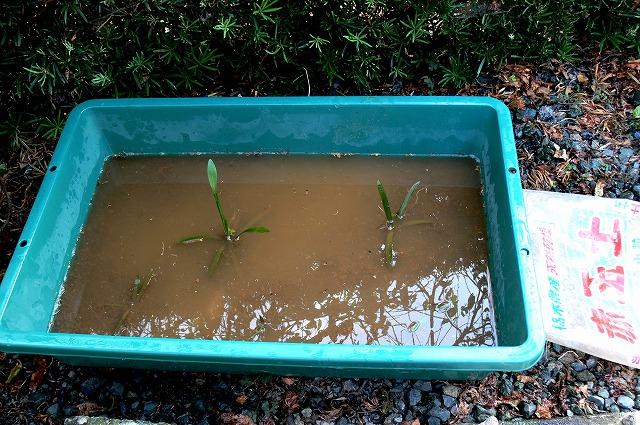 0901プラ船に土と水を入れ、水草を植え付けていく。