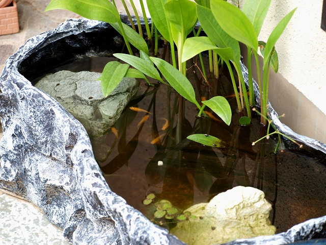 楊貴妃メダカの屋外水槽2