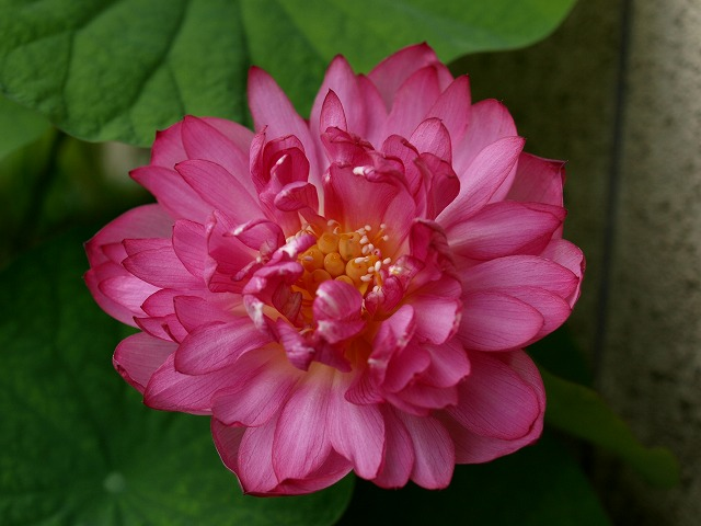 八重茶碗蓮の開花