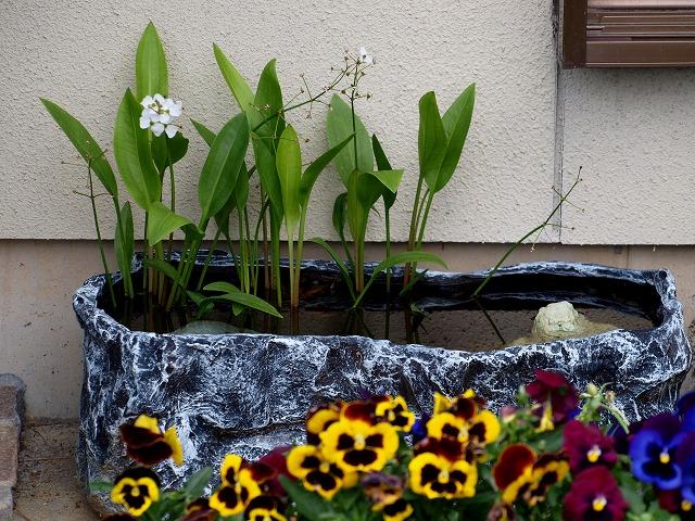 楊貴妃メダカの屋外水槽1