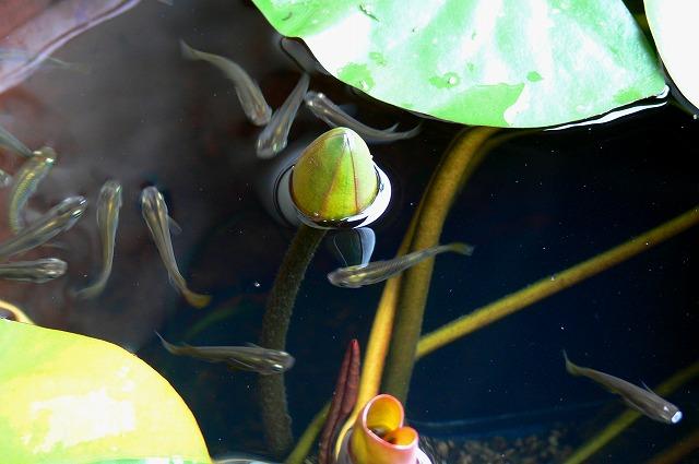クロメダカの群泳