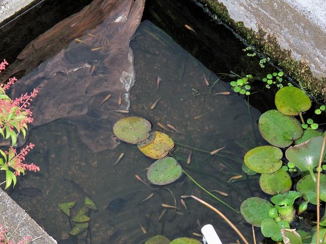 メダカ池と流木