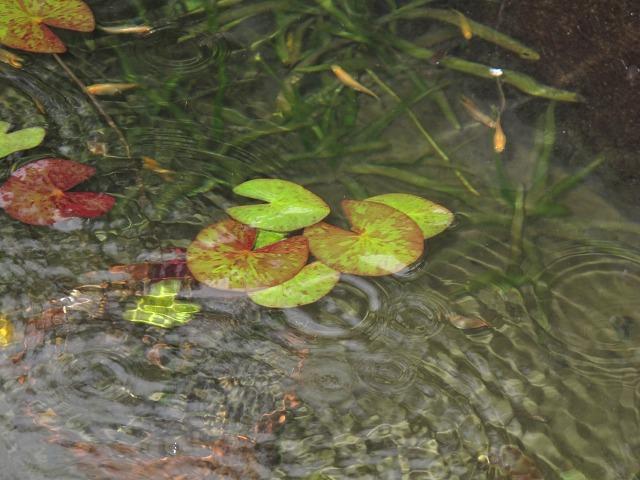 雨のメダカ池