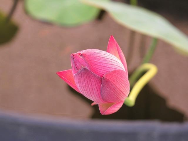 開花前(今朝)の茶碗蓮の蕾