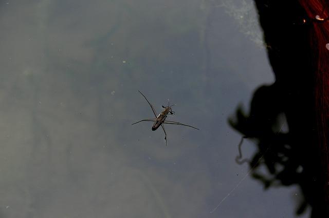 0507メダカ池を訪れたアメンボ