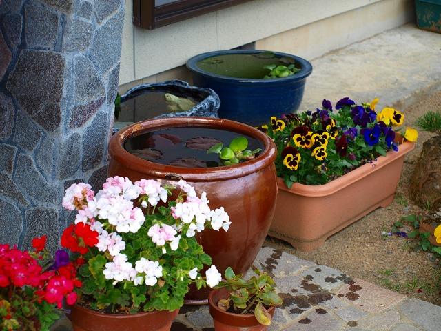 3 屋外水槽にホテイ草を投入