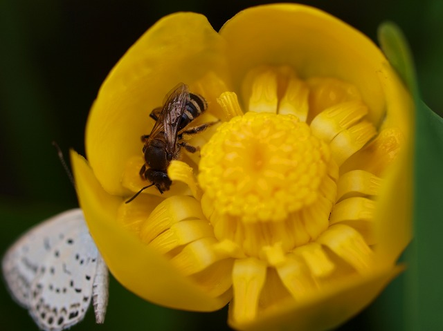コウホネの花と訪れた昆虫たち
