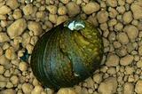 石巻貝の勇姿